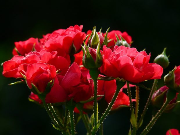 red-roses-4232_1280